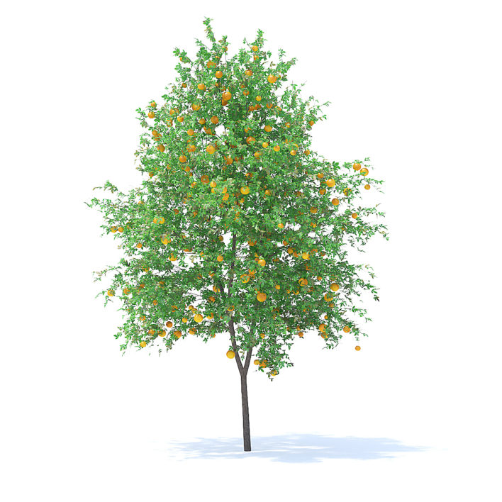 Orange Tree with Fruits 3D Model