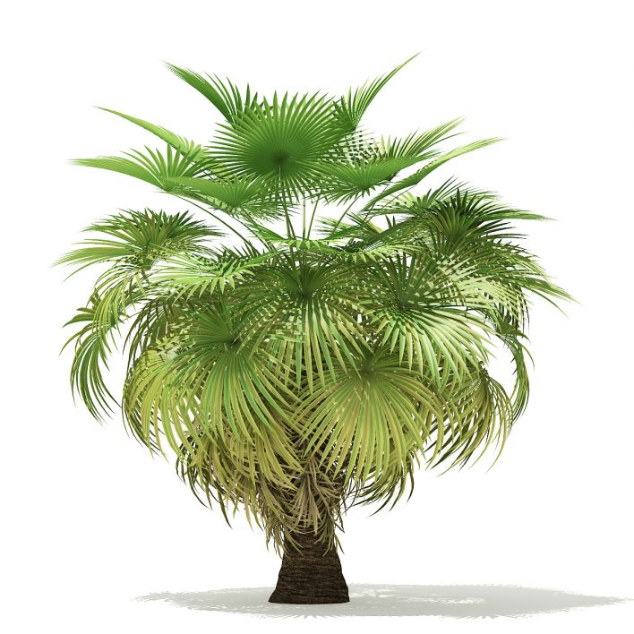 California Palm Tree 3D Model