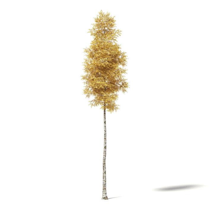 Silver Birch 3D Model 14.5m