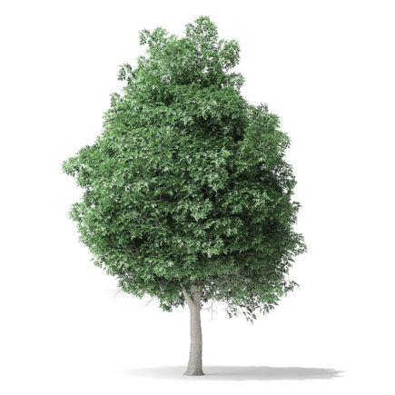 boxelder maple tree free 3d model